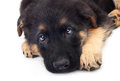 Puppy german shepherd dog on a white background Stock Images