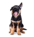 Puppy german shepherd dog on a white background Royalty Free Stock Images
