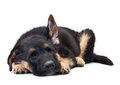 Puppy german shepherd dog on a white background Royalty Free Stock Photo