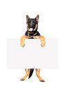 Puppy german shepherd holding a banner standing on hind legs isolated on white background Stock Photo