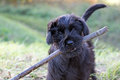 The puppy of Giant Black Schnauzer Dog Royalty Free Stock Photo