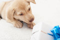 Puppy and gift on a white bedspread Stock Photo