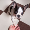 Puppy giving a paw french bulldog Royalty Free Stock Photo