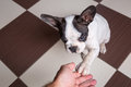Puppy giving a paw french bulldog Royalty Free Stock Image