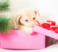 Puppy gnaws gift box near the christmas tree Royalty Free Stock Photos