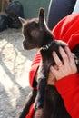 Puppy goat Royalty Free Stock Photo