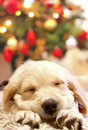 Puppy golden retriever asleep Royalty Free Stock Images