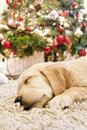 Puppy golden retriever asleep Stock Image