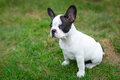 Puppy on the grass french bulldog Royalty Free Stock Images