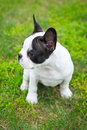 Puppy on the grass french bulldog Royalty Free Stock Photography
