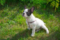 Puppy on the grass french bulldog Stock Photos