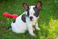 Puppy on the grass french bulldog Royalty Free Stock Image
