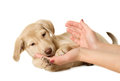 Puppy in hands beautiful beige Royalty Free Stock Image
