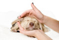 Puppy in the hands lying Royalty Free Stock Image