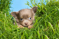 Puppy in high grass five weeks old chihuahua Royalty Free Stock Photo