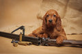 Puppy and hunting accessories horizontal studio Royalty Free Stock Image