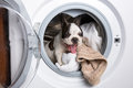 Puppy inside the washing machine french bulldog Stock Photos