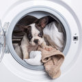 Puppy inside the washing machine french bulldog Stock Images