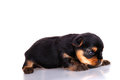 Puppy isolated on white funny a background Stock Photos