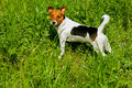 Puppy jack russel found pet a on the grass playing with a wooden stick Stock Images