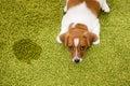 Puppy Jack Russell Terrier Lyi...