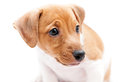 Puppy jack russell on a white background Royalty Free Stock Photography