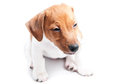 Puppy jack russell on a white background Royalty Free Stock Photos
