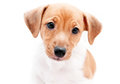 Puppy jack russell on a white background Royalty Free Stock Photo