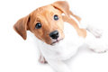 Puppy jack russell on a white background Royalty Free Stock Image