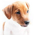 Puppy jack russell on a white background Stock Images