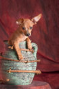 Puppy in a jar litlle mixed chihuahua daschund going out of green terra cotta shot on red background Stock Images