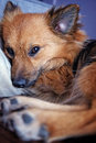 Puppy just wants to sleep a pomeranian papillon wanting go back Royalty Free Stock Photo