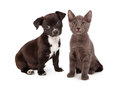 Puppy and kitten eight weeks old black white a gray sitting together both animals are Royalty Free Stock Photo