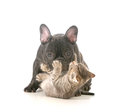Puppy and kitten playing french bulldog being attacked by a young playful isolated on white background Royalty Free Stock Photos
