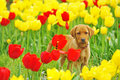 Puppy Labrador Royalty Free Stock Photos