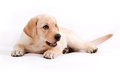 Puppy of the Labrador Royalty Free Stock Photography