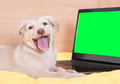 Puppy and laptop a with green screen Stock Images