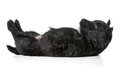 Puppy laying upside down on back scottish terrier weeks old Royalty Free Stock Image