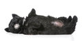Puppy laying upside down on back scottish terrier weeks old Stock Image