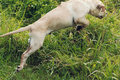 Puppy Leaps and Jumps Through Long Grass Royalty Free Stock Photo