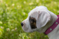 Puppy little dogo argentino shallow depth of field Royalty Free Stock Photo