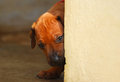 Puppy looking around corner Royalty Free Stock Photo