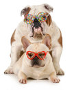 Puppy love french and english bulldogs wearing peace and glasses isolated on white background Stock Photo