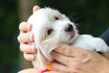 Puppy in love hand. Royalty Free Stock Photo