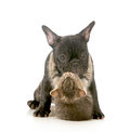 Puppy love kitten with arms wrapped around french bulldog giving a hug isolated on white background Stock Images