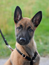 Puppy malinois Stock Image