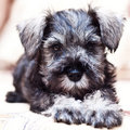 Puppy minischnauzer on the sofa Stock Images