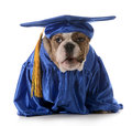 Puppy obedience english bulldog wearing graduation costume isolated on white background Stock Photos