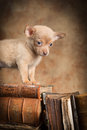 Puppy on old books cute little chihuahua top of antique Stock Image