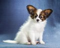 Puppy papillon studio portrait of a small Stock Photography